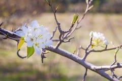 Молодая blossoming яблоня на предпосылке неба с солнечным светом Стоковые Изображения
