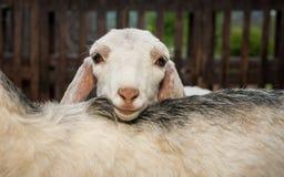 Молодая nubian коза Стоковые Фотографии RF