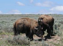 Молодое бой быков бизона в национальном парке Йеллоустона Стоковое фото RF
