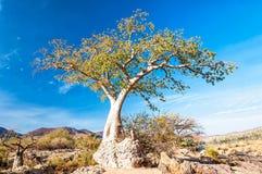 Молодое дерево баобаба в Epupa падает зона, Намибия Стоковое Фото