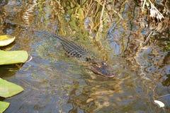 Молодое заплывание аллигатора Стоковая Фотография