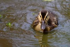 Молодое заплывание утенка кряквы в воде Стоковые Фото