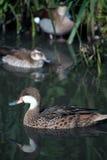 Молодое заплывание утки с его друзьями Стоковая Фотография