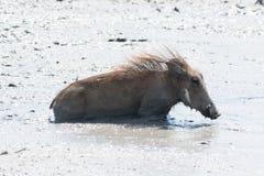 Молодое заплывание warthog в тинной воде стоковые изображения rf