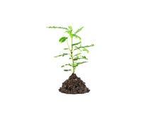 Молодое зеленое растение на белой предпосылке, в зависимости от почвы p Стоковые Фото