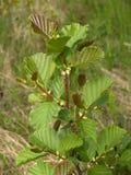 Молодое избежание черноты ольшаника (glutinosa l Alnus ), то стоковая фотография rf