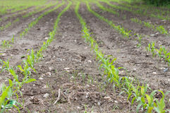 Молодое кукурузное поле весны стоковое изображение