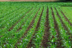 Молодое кукурузное поле Стоковое Изображение
