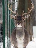 Молодое мужское lani на снеге смотря камеру Стоковые Фото