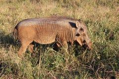 Молодое мужское warthog Стоковые Фото