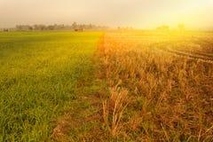 Молодое поле риса и поле сбора стоковые изображения