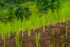Молодое поле риса стоковые изображения rf