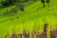 Молодое поле риса стоковое фото rf