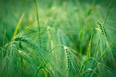 Молодое поле урожая Стоковое Изображение