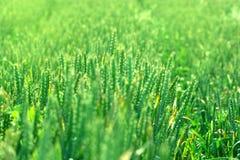 Молодое пшеничное поле Стоковое Фото