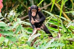 Молодое пытливое шимпанзе Стоковые Фотографии RF