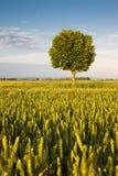 Молодое плоское дерево Стоковое Изображение