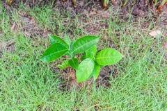 Молодое фруктовое дерев дерево jack Стоковая Фотография RF