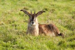 Молодое anelope соболя Стоковые Изображения RF