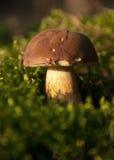 Молодое badius Xerocomus растя из мха в forestHorizon Стоковые Изображения