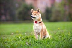 Молодое inu shiba сидит в парке Стоковые Изображения RF