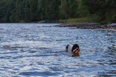 Молодое landeer играя с яркой оранжевой игрушкой в озере Стоковое Изображение