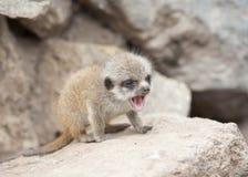 Молодое meerkat Стоковые Фото