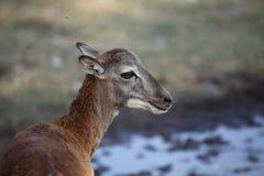Молодое moufflon Стоковое Изображение RF