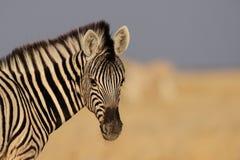 Молодое portarit осленка зебры Стоковое Изображение RF