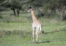 Молодое tippelskirchi Giraffa жирафа Masai в Танзании Стоковое Изображение RF