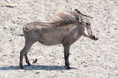 Молодое warthog, портрет, вполне стоковая фотография rf