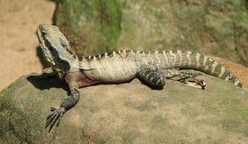 Молодой австралийский дракон воды стоковые фотографии rf