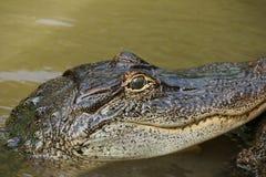 Молодой американский аллигатор Стоковая Фотография RF