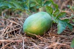 Молодой арбуз с заводом арбуза на сухой траве Стоковая Фотография