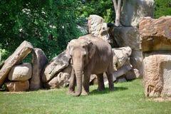 Молодой африканский слон идя на траву среди утесов Стоковая Фотография RF