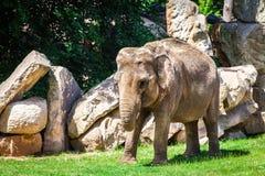 Молодой африканский слон идя на траву среди утесов Стоковое Фото