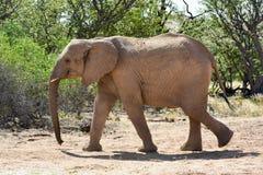 Молодой африканский слон куста Стоковые Фотографии RF