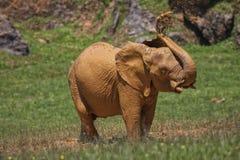 Молодой африканский слон Стоковые Фото
