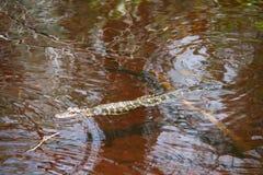 Молодой аллигатор Стоковые Изображения RF