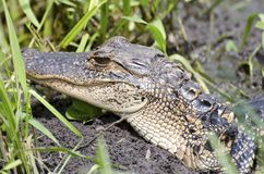 Молодой аллигатор Стоковое фото RF