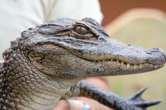 Молодой аллигатор Стоковое Изображение RF