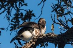 Молодой баклан холя на дереве Стоковые Фото