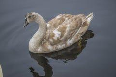 Молодой безгласный лебедь, olor cygnus Стоковая Фотография