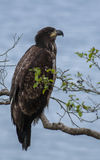 Молодой белоголовый орлан стоковые фотографии rf