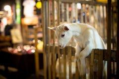 Молодой белый ребенк козы Стоковые Изображения RF