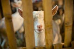 Молодой белый ребенк козы Стоковые Изображения