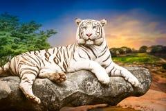 Молодой белый тигр Стоковое Изображение