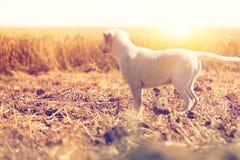 Молодой белый щенок labrador стоя в заходе солнца Стоковые Фото
