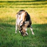 Молодой белый Horned жевать козы Стоковые Фотографии RF
