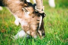 Молодой белый Horned жевать козы Стоковые Изображения